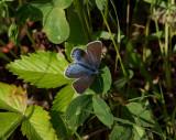 Silverblåvinge (Polyommatus amandus)