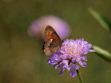 Skogsgräsfjäril (Erebia ligea)