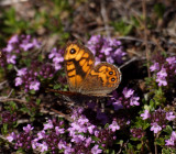 Svingelgräsfjäril (Lasiommata megera)