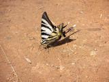 Segelfjäril (Iphiclides podalirius)Greece