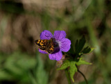 Svartfläckig glanssmygare (Carterocephalus silvicola)
