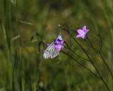Hagtornsfjäril (Aporia crataegi)