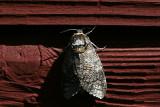 Vanlig träfjäril (Cossus cossus)