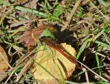 Blodröd ängstrollslända (Sympetrum sanguineum)