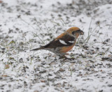 Two-barred crossbill (Loxia leucoptera)