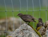 Common starling (Faroensis)