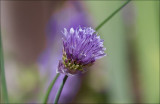 Spring Chives