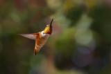 Hummingbird Glisten