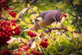 Robins & Cedar Waxwings