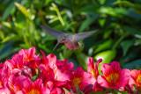 Sunny Flowers, Shady Hummer