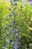 Blauer Natternkopf - Blueweed