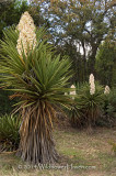 Yucca Family