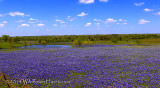Bluebonnet Pond Pano