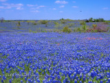 Blue Sky Bluebonnets