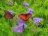 Queen Butterflies On Mistflower