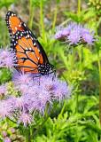 Queen butterfly on Mistflower