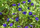 Blue Version of Scarlet Pimpernel