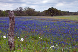 Bluebonnet Meadow Oak2