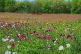 Rose Poppies And Cows in wildflower Meadow
