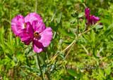 Rose Poppy