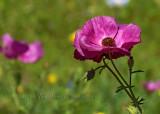 Rose Prickly Poppy