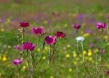 Rose Prickly Poppy Field