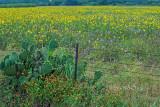 Huge Sunflower Field