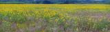 Sunflower Field Pano