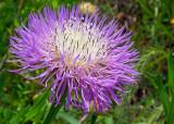 Basketflower