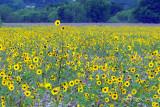 Standout Sunflower