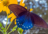 Pipevine Swallowtail On Cowpen Daisy