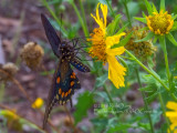 Pipevine Swallowtail On Cowpen Daisy 2