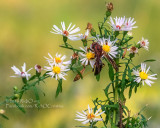 Wasp on Tall Aster