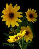 Maximilian Sunflower - Portrait