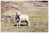 Wilcacocha sheep