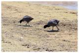 Wilcacocha birds