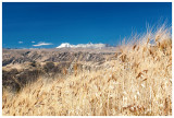Wheat, a common crop on the mountainsides