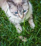 The blue-eyed cat we call Kitten.