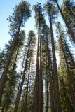 734 1 Yosemite Valley Trees.jpg