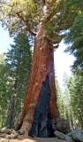 756 2 Yosemite Mariposa Grove Grizzly Giant.jpg