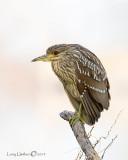 Black-crowned Night-heron(Juvenile)