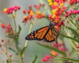 Monarch Butterfly & Wasp