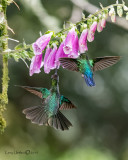 Magnificent & Fiery-throated Hummingbird