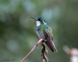 White-throated Mountain-gem