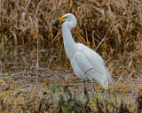 Great Egret with a Vole