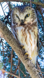 Northenr Saw-whet Owl