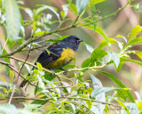Black and Yellow Silky-flycatcher
