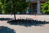 The City Pigeons