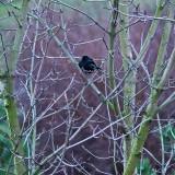 Blackbird's Tree