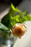 Up Close To Rose